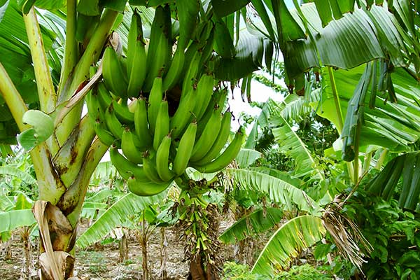 Multi-Sector Dialogue in Guatemalan Banana Production