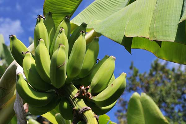 Worker Empowerment in Honduran Banana Production