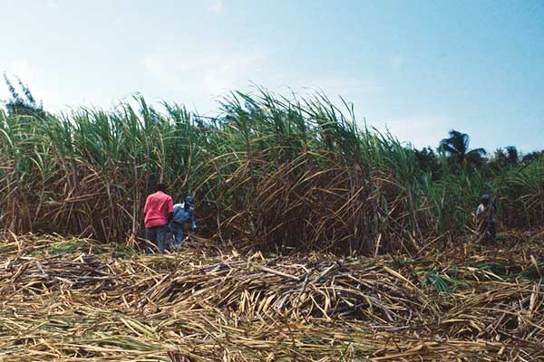 Human Rights and Labor Conditions in Dominican Sugar Production