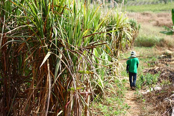 Child Labor Eradication in Salvadoran Sugar Production